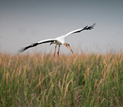 In The Air Prints - Wood Stork In Flight Print by Rachelle Vance Photography