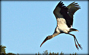 Pictures Photo Originals - Wood Stork in Full Flight by John Wright