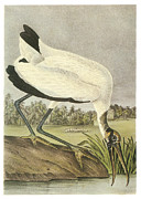 Shorebird Paintings - Wood Stork by John James Audubon