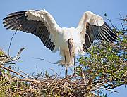 Stork Originals - Wood Stork Landing by Kenneth Albin