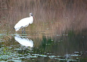 Stork Posters - Wood Stork on the Pond Poster by Carol Groenen