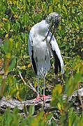 Stork Originals - Wood Stork Preening by Alan Lenk