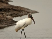 Migratory Bird Prints - Wood Stork Walking Print by Al Powell Photography USA
