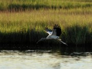 Al Powell Photography Usa Framed Prints - Wood Stork Winged Flight Framed Print by Al Powell Photography USA