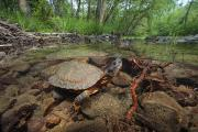 Allegheny County Prints - Wood Turtle, Clemys Insculpta, Forages Print by George Grall