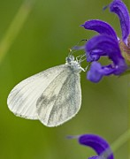 Biological Prints - Wood White Print by Bob Gibbons