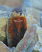 Groundhog Photography Acrylic Prints - Woodchuck Acrylic Print by Tony Beck