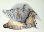 Hunting Drawings Framed Prints - Woodcock Framed Print by Betsy Gray