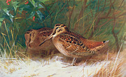 Woodcock Framed Prints - Woodcock in the Undergrowth Framed Print by Archibald Thorburn