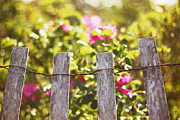 Protection Posters - Wooden Fence Against Rosa Rugosa Poster by Lucy Loomis, Photographer