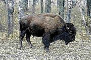 Bison Digital Art - Woodland Bison by Nelson and Cheryl Strong