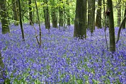 Hyacinthoides Non-scripta Posters - Woodland Bluebells Poster by Martyn F. Chillmaid