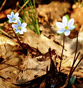 Forest Floor Prints - Woodland Flowers Print by Thomas Young