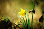 Lent Prints - Woodland Narcissus Print by Rebecca Sherman