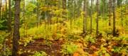 Woodland Panorama Print by Michael Peychich