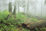 Physiology Art - Woodland View In Fog With Ferns by Norbert Rosing