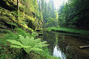 Woodland Scenes Posters - Woodland View With Ferns Along Stream Poster by Norbert Rosing