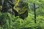 Woodland Scenes Posters - Woodland View With Ferns And Rock Poster by Norbert Rosing