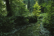 Woodland Scenes Photo Prints - Woodland View With Stream Print by Klaus Nigge
