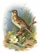 Bird Drawing Prints - Woodlark, Historical Artwork Print by Sheila Terry