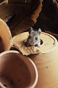 Flowerpots Posters - Woodmouse Peeering Out Of A Flowerpot Poster by David Aubrey
