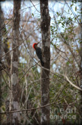 Florida Swamp Prints - Woodpecker in the Swamp Print by Carol Groenen