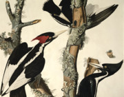 Coloured Drawings Posters - Woodpecker Poster by John James Audubon