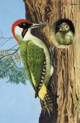 Baby Bird Painting Prints - Woodpecker Print by RB Davis