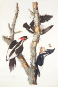 Wild-life Framed Prints - Woodpeckers Framed Print by John James Audubon