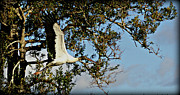 Pictures Photo Originals - Woodstork Flying by John Wright
