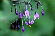 Solanum Dulcamara Photos - Woody Nightshade by Erica Hanel