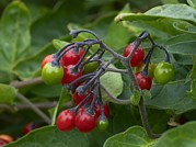 Solanum Dulcamara Photos - Woody Nightshade (solanum Dulcamara) by Adrian Bicker