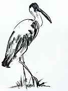 Fauna Drawings Originals - Woolly-Necked Stork by Abin Raj