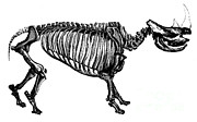 Prehistory Prints - Woolly Rhino, Cenozoic Mammal Print by Science Source