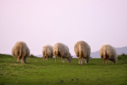 Sheep Photos - Wooly Bottoms by Angel  Tarantella