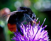 Busy Bee Prints - Worker Bumble Bee Bombus lapidarius Black and Orange Print by Chris Smith