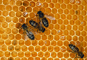 Honeycomb Prints - Worker Honeybees Print by David Parker