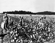 Ev-in Metal Prints - Workers Picking Cotton, Georgia, 1936 Metal Print by Everett