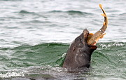 Sea Lion Photos - Working For A Meal by Fraida Gutovich