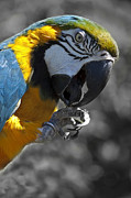 Blue And Gold Macaw Posters - Working for Peanuts Poster by Barbara  White
