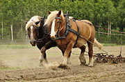 Animal Pyrography Posters - Working horse Poster by Conny Sjostrom