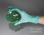 Agar Framed Prints - World Inside A Petri Dish Framed Print by Photo Researchers