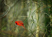 Male Cardinal Framed Prints - World of Fire and Dew Framed Print by Rebecca Sherman