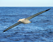 Albatross Prints - Worlds Longest Wingspan Print by Tony Beck