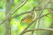 Wood Warbler Posters - Worm-eating Warbler Poster by Alan Lenk