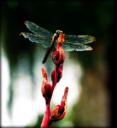 Tired Photo Posters - Wornout Dragonfly Poster by Susie Weaver