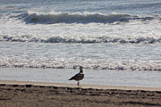 Oceanview Posters - Wounded Seagull 4 Seagulls Birds Photos Beach Beaches Sea Ocean Oceanview Scenic Seaview Art Pics Poster by Pictures HDR