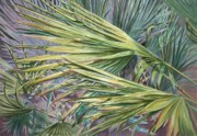 Saw Palmetto Prints - Woven Fronds Print by Roxanne Tobaison