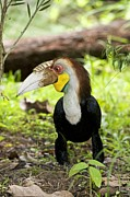 Plait Framed Prints - Wreathed Hornbill Framed Print by Tony Camacho