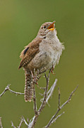 Singing Photo Originals - Wren by Adrienne Smith